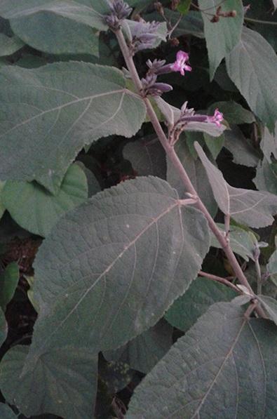 Chữa trị bệnh gan thời kỳ cuối bằng cây an xoa