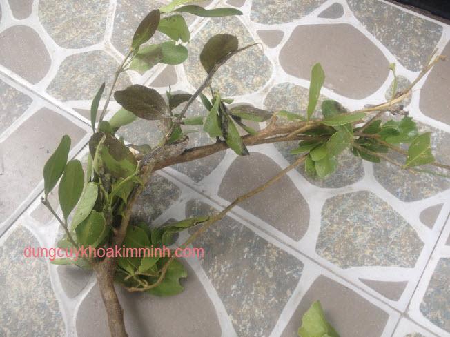 Cây quýt rừng cam rừng KIM MINH