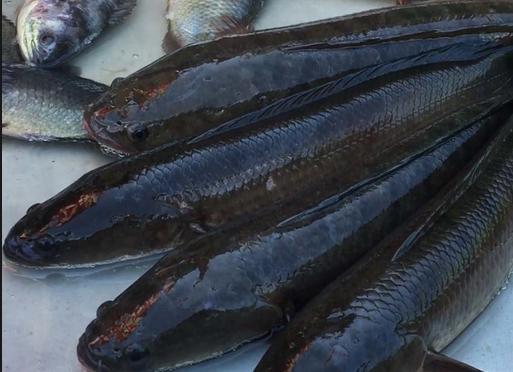 Lấy nước nhớt từ miệng 3 con cá lóc còn sống chữa bệnh tai biến đột quỵ - Y Khoa Kim Minh