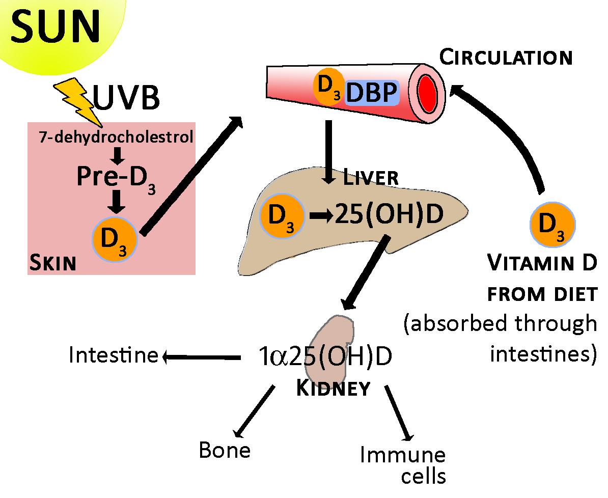 nguồn cung cấp quan trọng vitamin D và canxi cho bé