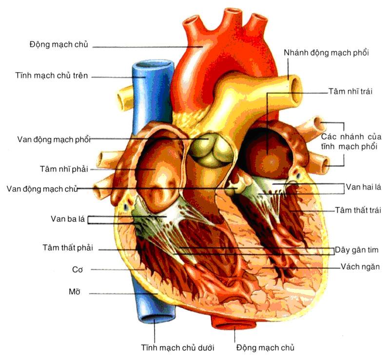 Hệ thống tuần hoàn tim và mạch máu trong cơ thể