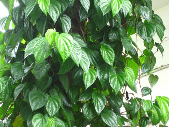 lá trầu tươi và nước dừa xiêm chữa bệnh gut