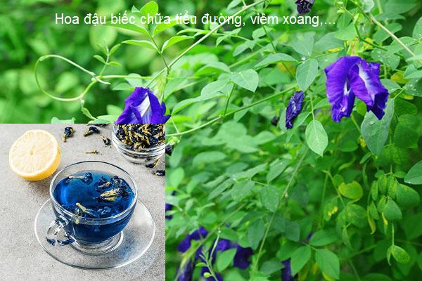 Công dụng hoa đậu biếc chữa tiểu đường viêm xoang